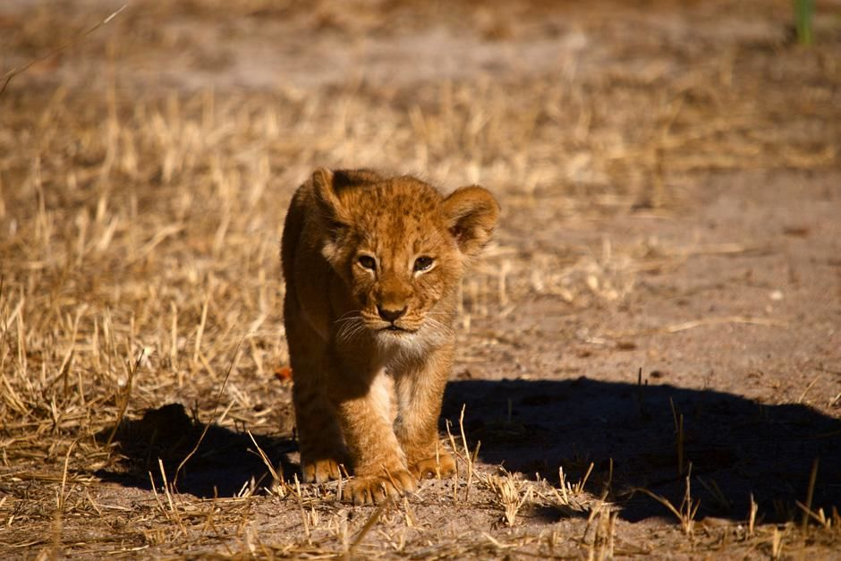 Africa: Lion cubs face many dangers -- even from their own species. When males take over a... [Photo of the day - April 2013]