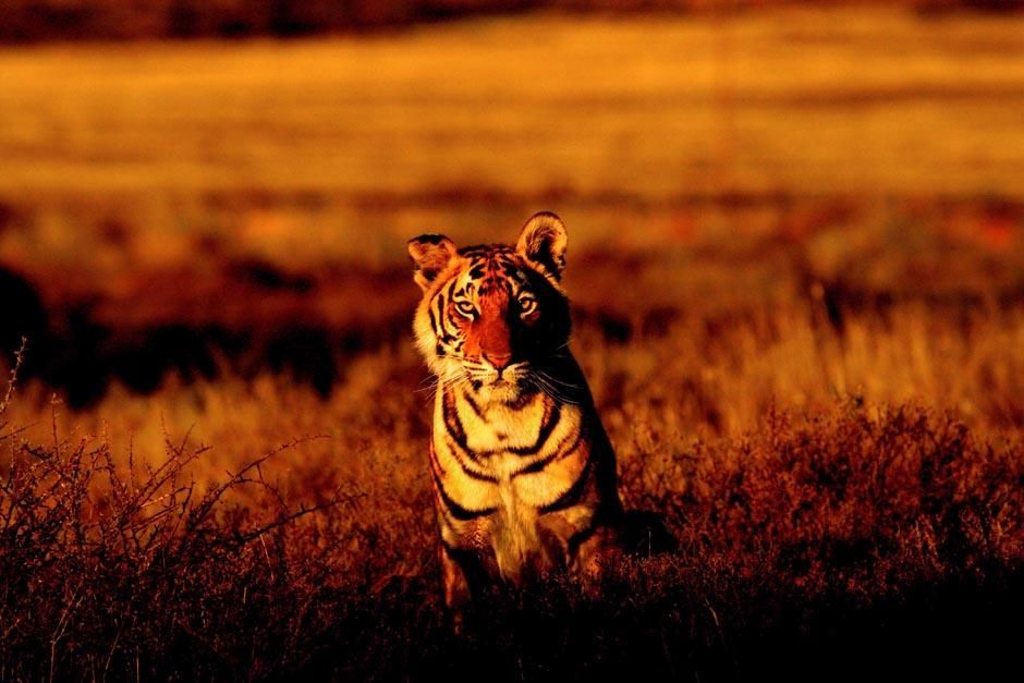 Tiger Canyons, near Philippolis, South Africa: Panna sitting in the red light of the sunset at... [Photo of the day - آوریل 2013]