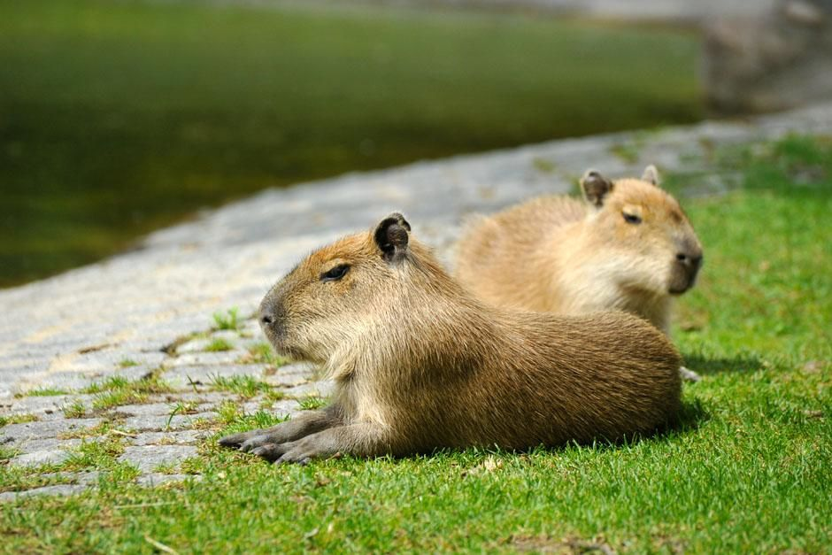 Berlin, Germany: Two young Capybara. This family series discovers what it takes to be a zoo baby... [Photo of the day - April 2013]