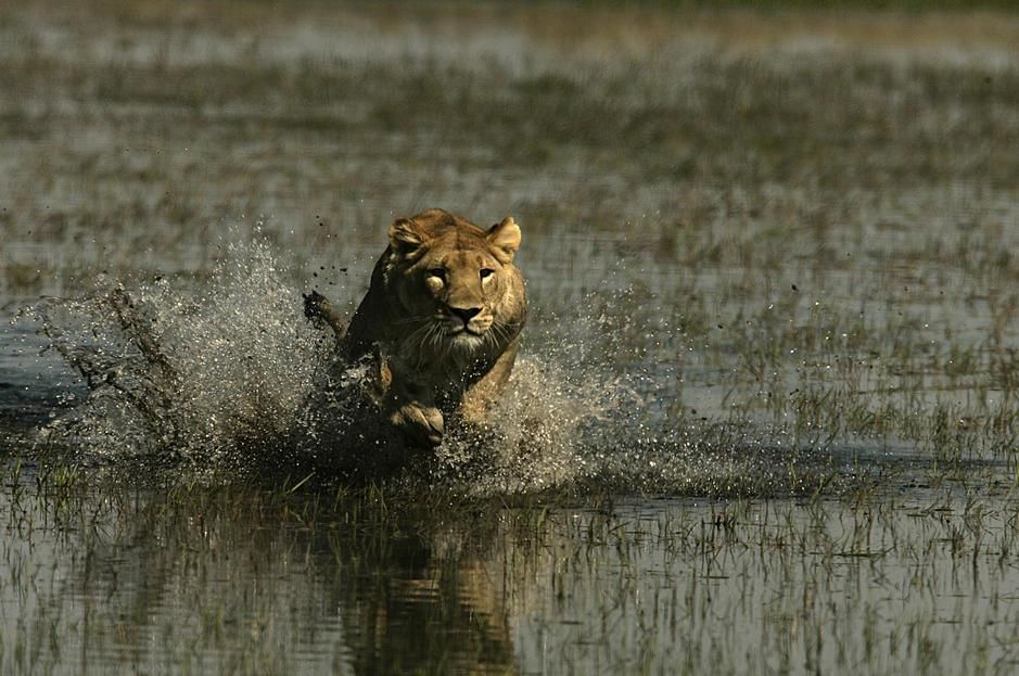 An African lion charging through a flooded grassland in Okavango Delta. Botswana. [Photo of the day - November 2011]