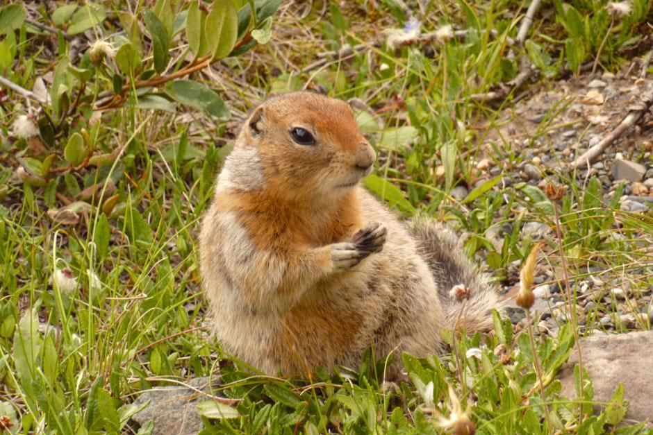 Denali National Park, Alaska, USA: An Artic ground squirrel fattens up for the winter in Denali... [Photo of the day - می 2013]