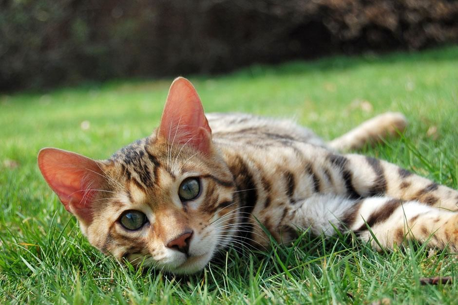 A bengal cat. The cat family varies in size from a small house-cat to a lion, but they share... [Photo of the day - May 2013]