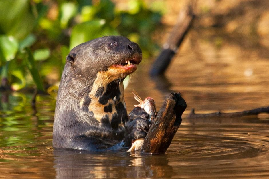 Giant river otters.  This image is from Secret Brazil. [Photo of the day - می 2013]