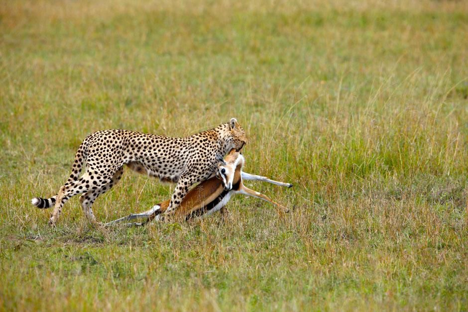 Serengeti/Massai Mara: Female cheetahs hunt gazelles most of the time. Only cheetah brothers who... [Photo of the day - May 2013]