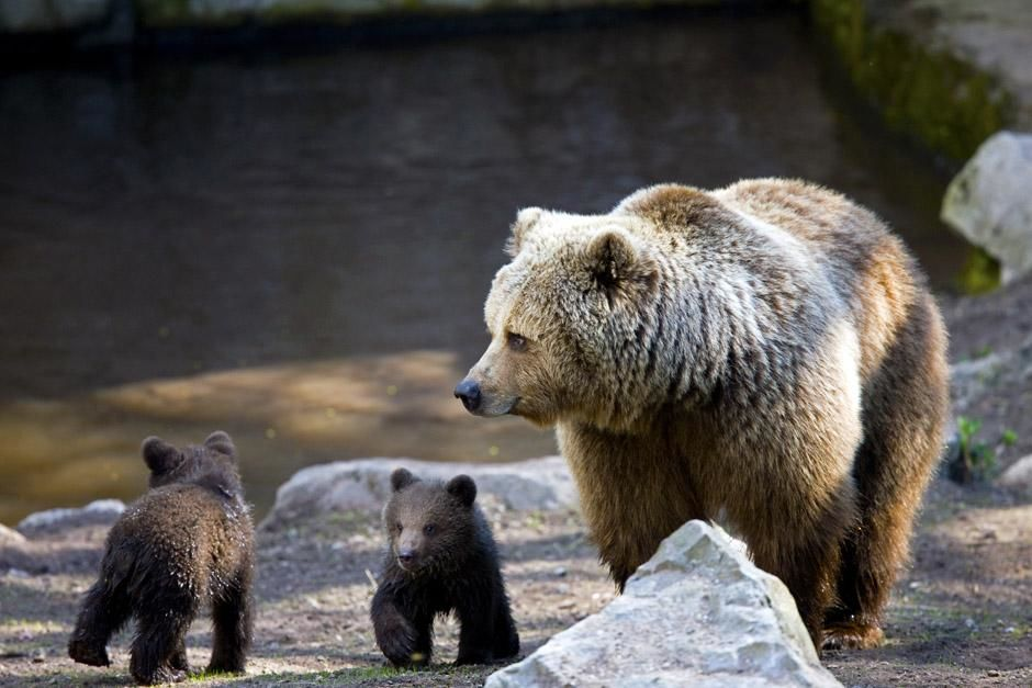 Brown bear with cubs  (Ursus arctos). This image is from Built For The Kill. [Photo of the day - می 2013]