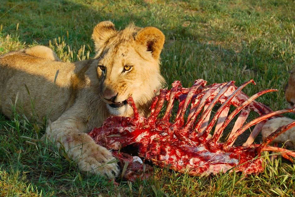 Juvenile male lion eating carcass. This image is from In the Womb: Cats. [Photo of the day - می 2013]