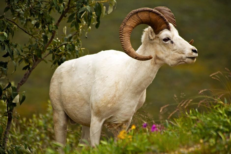 Denali National Park, Alaska, USA: A dall sheep grazes along a hillside near Polychrome Pass in... [Photo of the day - May 2013]