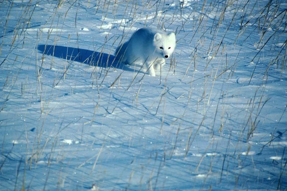 A polar fox runs across the snow. This image is from Planet Carnivore. [Photo of the day - May 2013]