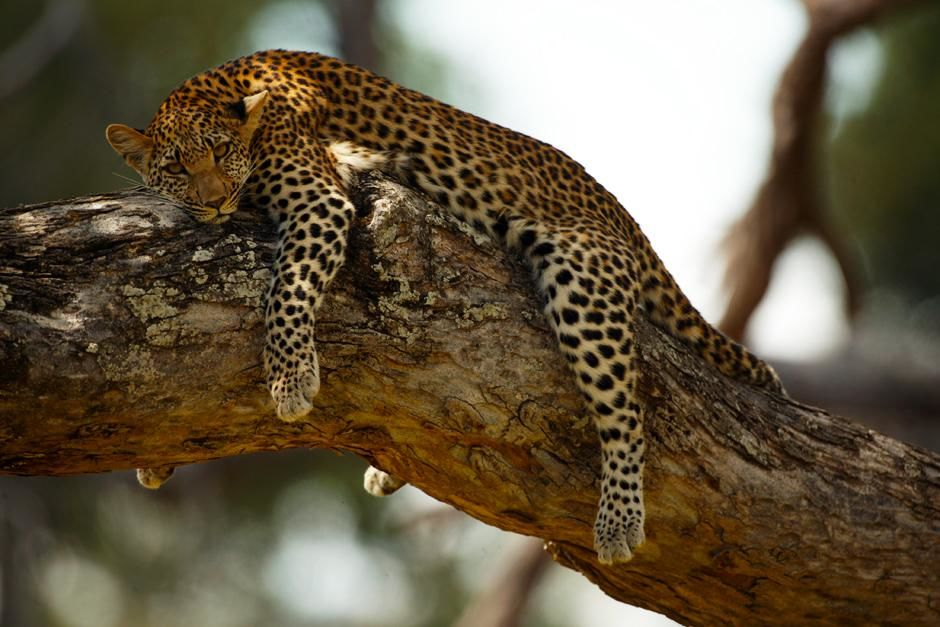 Mombo in the Okavango Delta in Botswana: Legadema a female cub resting in an acacia tree but... [Photo of the day - می 2013]