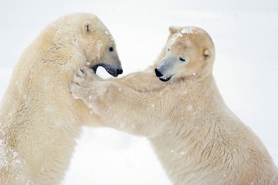 Churchill, Manitoba, Canada: Two male polar bears spar or play fight on fresh snow. This image... [Photo of the day - May 2013]