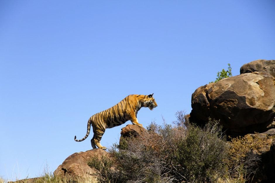 Tiger Canyons, South Africa: Ushiri exploring around the rocky den. This image is from Tiger Man... [Photo of the day - May 2013]
