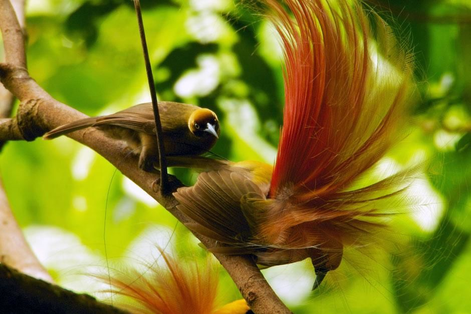 Papua New Guinea: Goldie's Bird of Paradise (Paradisaea decora). two males displaying at lek on... [Photo of the day - May 2013]