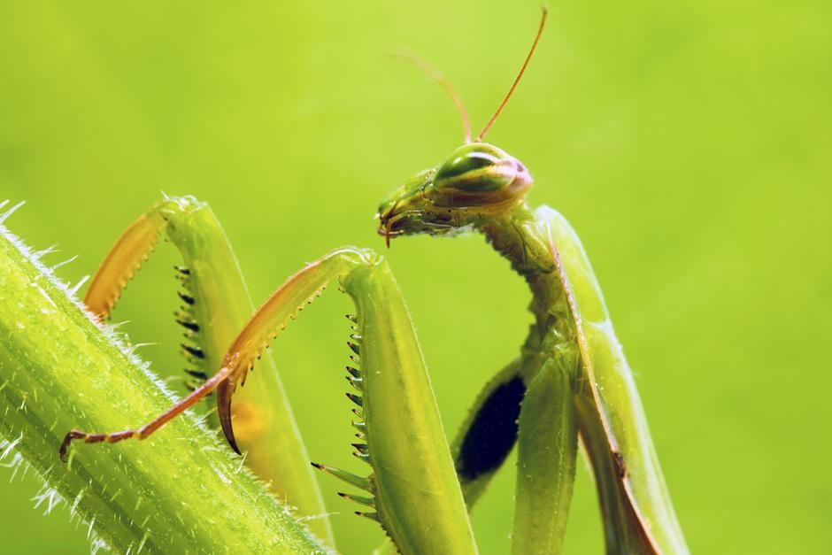 Seville, Spain: Praying mantis (Mantis religiosa). This image is from Ultimate Animal Countdown.. [Photo of the day - June 2013]