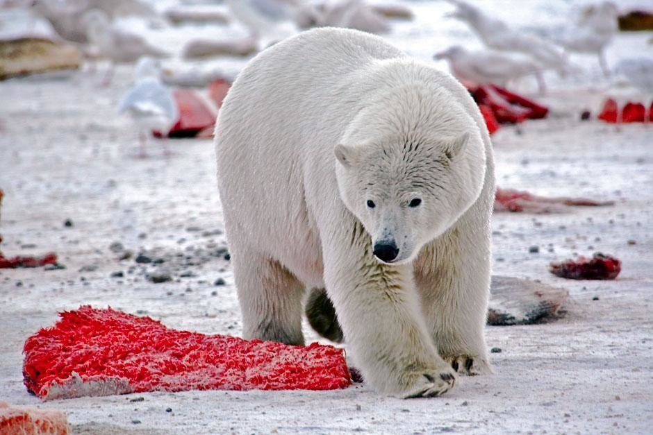 Kaktovik, Alaska, USA: A polar bear surrounded by discarded bowhead whale meat. This image is... [Photo of the day - June 2013]