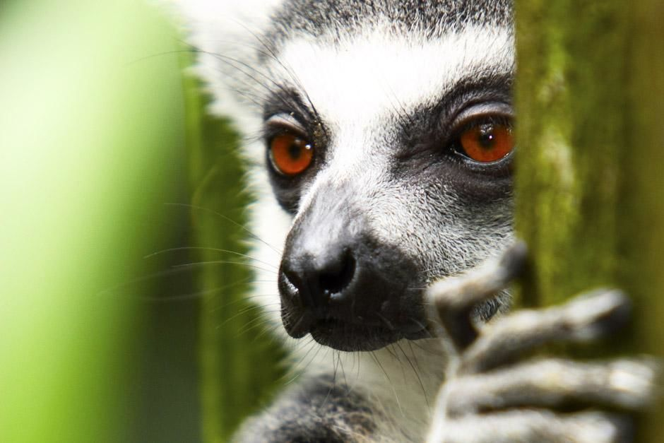 Berenty Reserve, Madagascar: Ring-tailed lemur (Lemur catta). This image is from Ultimate Animal... [Photo of the day - June 2013]
