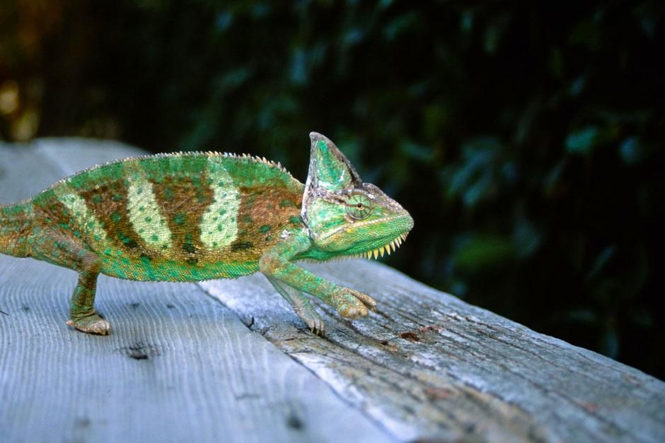 Andasibe-Mantadia National Park, Madagascar: Panther chameleon (Furcifer pardalis). This image... [Photo of the day - July 2013]