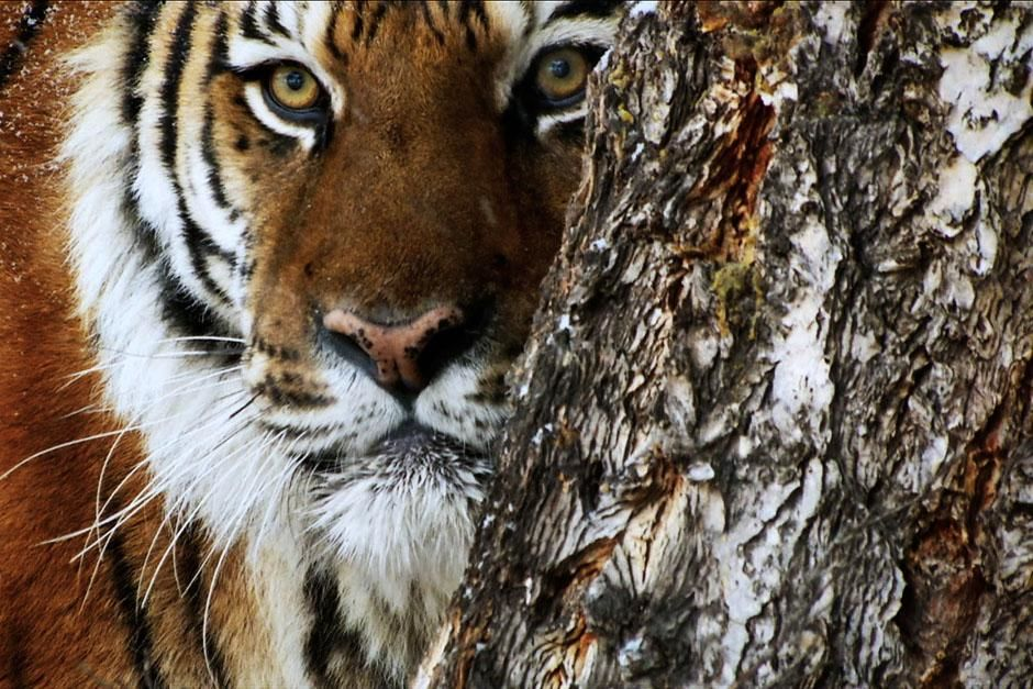 Asia: A tiger peeks out from behind a tree. This image is from 20 Animals That Can Kill You. [Photo of the day - July 2013]