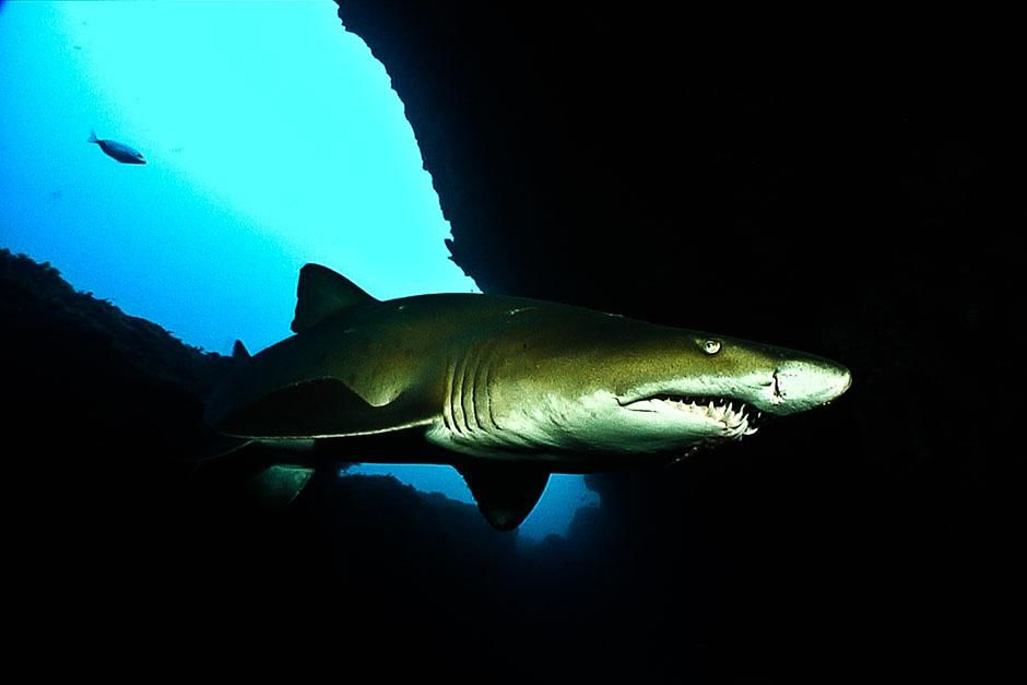 South Africa: High contrast shot of ragged tooth shark. This image is from Ragged Tooth, [Photo of the day - 八月 2013]