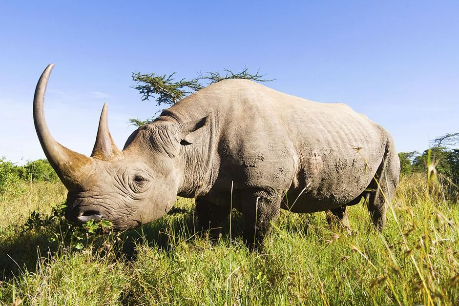 Kruger National Park, South Africa: White rhino standing in the tall grass. (Ceratotherium... [Photo of the day - 八月 2013]