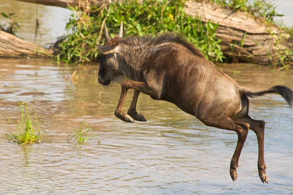 Africa: Wildebeest calf jumping into the river. This image is from Blood River. [Photo of the day - اگوست 2013]