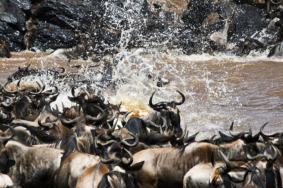 Africa: Close up of wildebeest crossing river, mid river, large splash of water. This image is... [Photo of the day - August 2013]