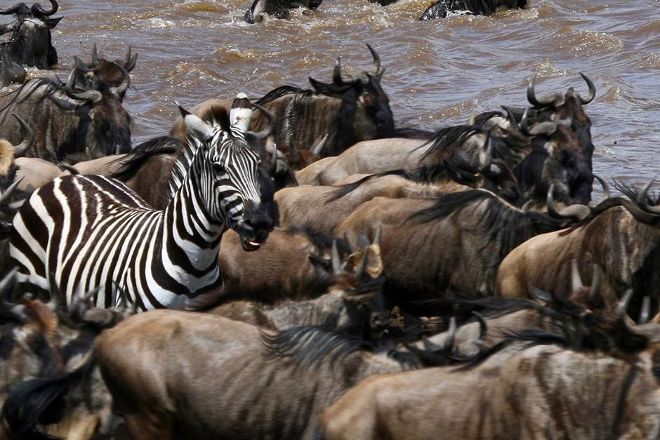 Africa: Individual zebra amongst wildebeest. This image is from Blood River. [Photo of the day - August 2013]
