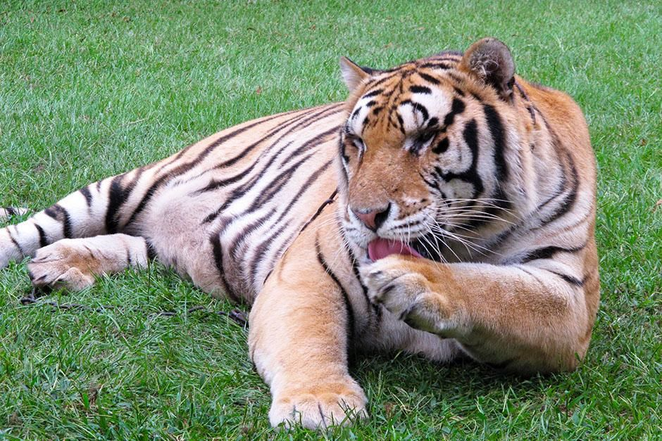 Myrtle Beach, South Carolina, USA: A tiger laps up the milk he spilled on his paw at TIGERS (The... [Photo of the day - 八月 2013]
