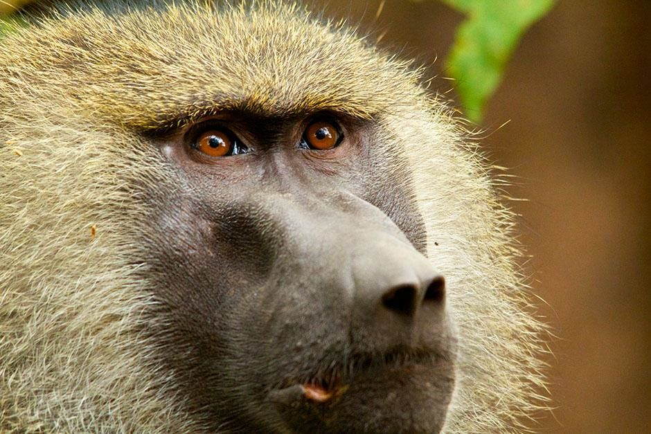 Lake Manyara, Tanzania: A baboon looks towards the sky. Baboons eat more meat than any other... [Photo of the day - August 2013]