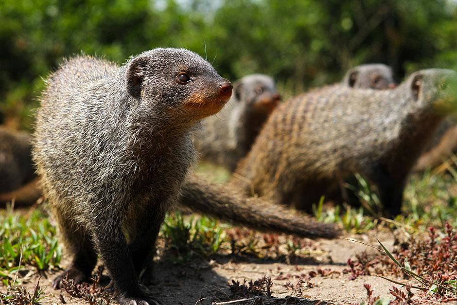 Queen Elizabeth National Park, Uganda: Banded mongooses are highly social animals that live in... [Photo of the day - اگوست 2013]