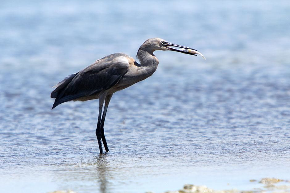 Laguna Madre, Texas, USA: A reddish egret wading with a fish in its beak. This image is from... [Photo of the day - August 2013]
