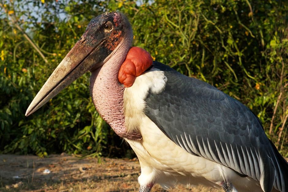 Queen Elizabeth National Park, Uganda: A marabou stork searches for food. Marabou storks are a... [Photo of the day - August 2013]