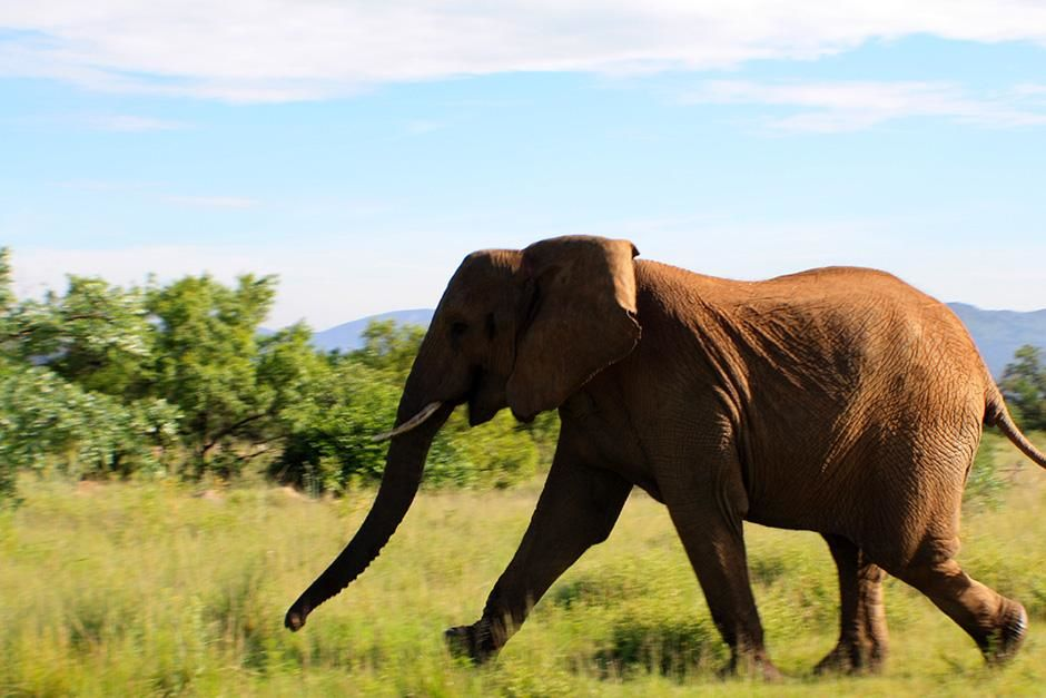 Africa: REENACTMENT: An elephant runs across the game reserve. This image is from Dead or Alive. [Photo of the day - August 2013]