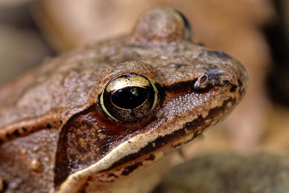 Ottawa, Canada: A wood frog looks on (Rana sylvatica). This image is from Ultimate Animal Countdown. [Photo of the day - August 2013]