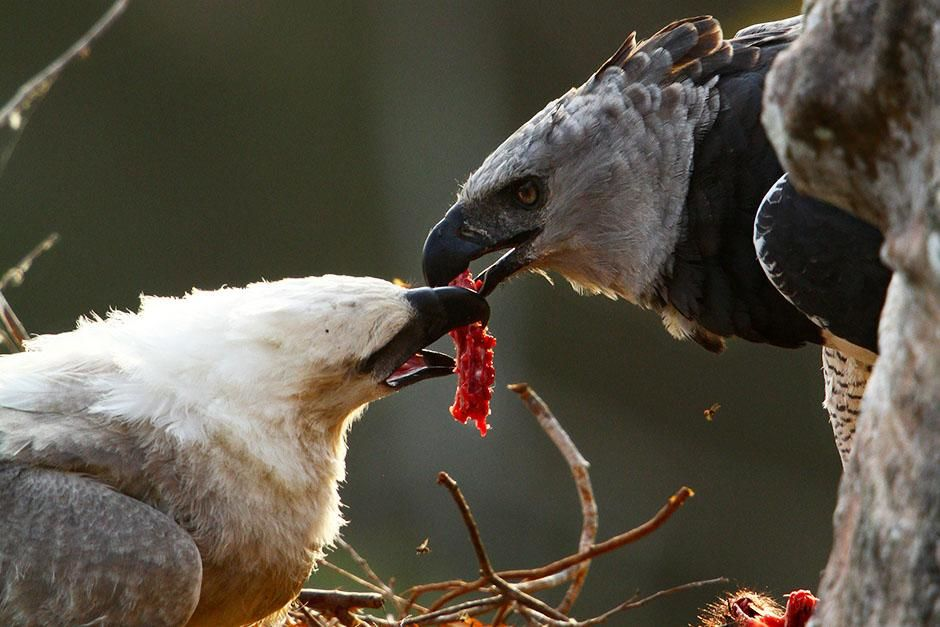 Darién Province, Panama:  A harpy eagle mother delicately feeds her chick a piece of meat from... [Photo of the day - 八月 2013]
