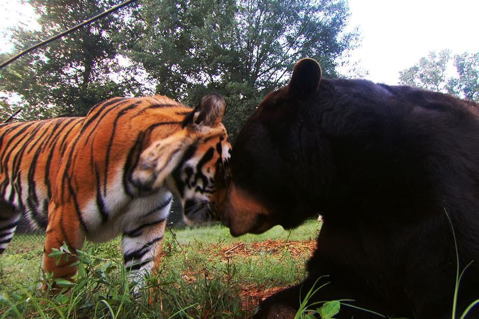 USA: Shere Khan the tiger and Baloo the black bear. This image is from Unlikely Animal Friends. [Photo of the day - 八月 2013]