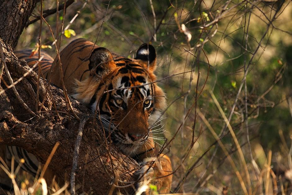 Ranthambhore, Rajasthan, India: A male Bengal tiger scratches his claws against a tree trunk.... [Photo of the day - 八月 2013]