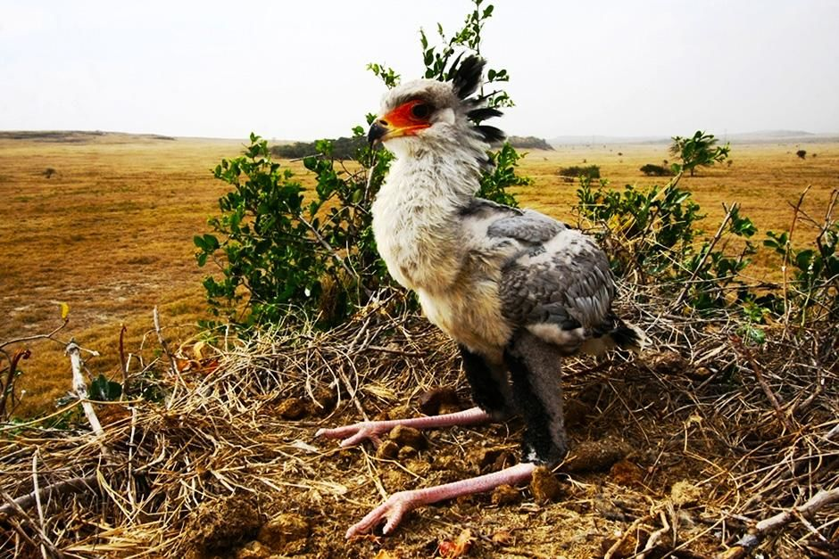 Soysambu Conservancy, Kenya: A secretary bird chick waits for its parents to return with a meal.... [Photo of the day - September 2013]