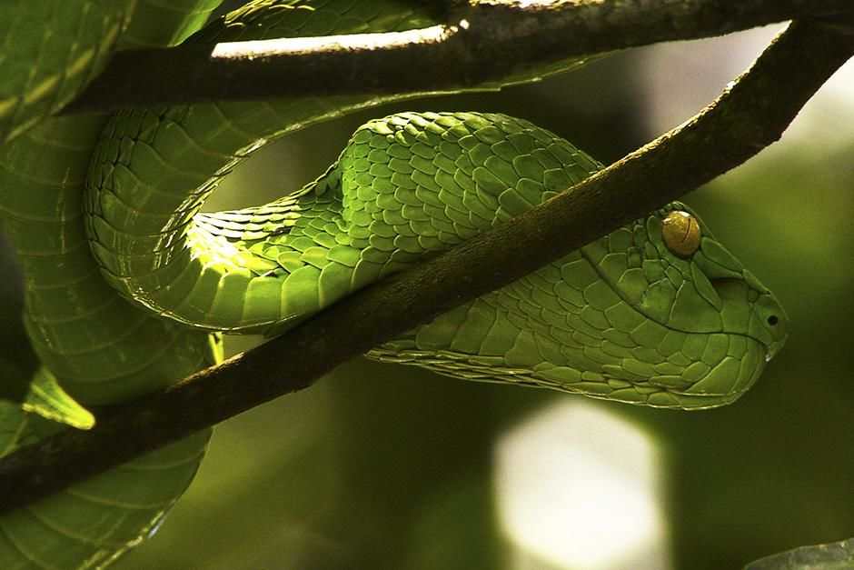Indonesia: A green tree pit viper on a branch. This image is from Venom Island. [Photo of the day - سپتامبر 2013]