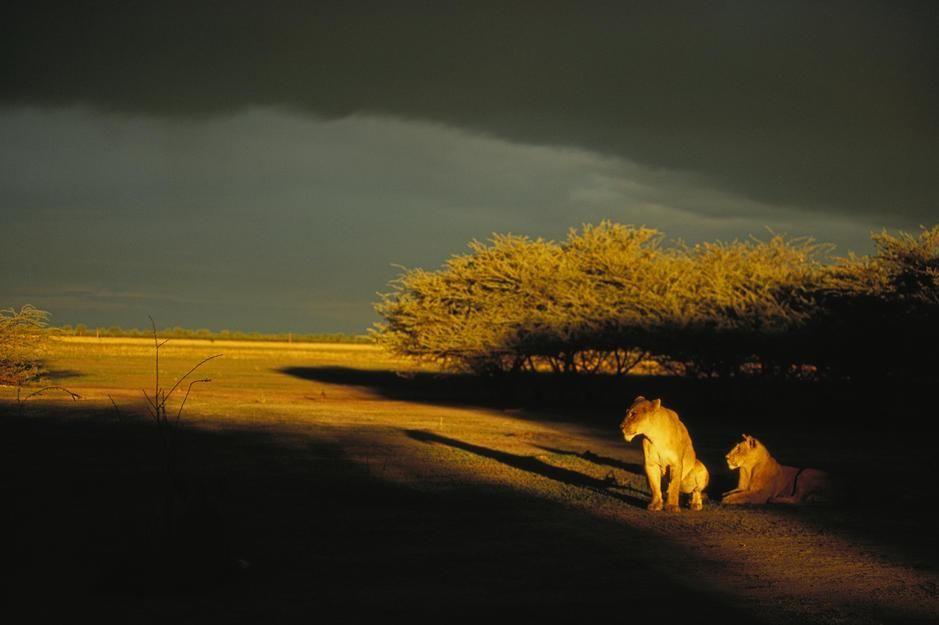 دو شیر ماده آفریقایی در زیر نور آخر غروب در ساووتوی... [Photo of the day - ژولیه 2011]