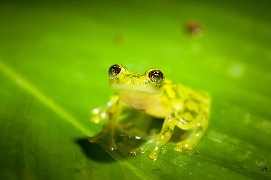 Costa Rican Amphibian Research Centre, Siquirres, Costa Rica: An adult reticulated glass frog... [Photo of the day - سپتامبر 2013]