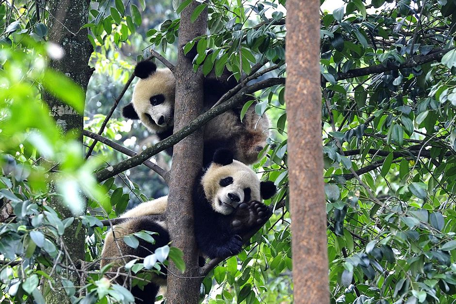 Bifengxia Panda Breeding and Research Centre, Sichuan Province, China: Two pandas are relaxing... [Photo of the day - October 2013]