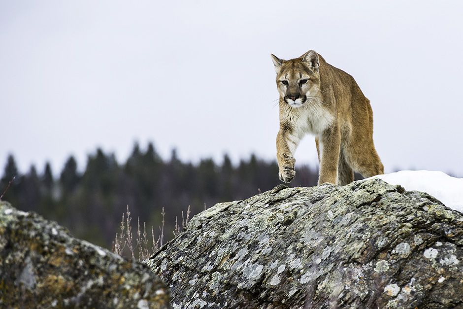 Kalispell, Montana, USA: Kali, a young adult female mountain lion stalks across the rocks. This... [Photo of the day - October 2013]