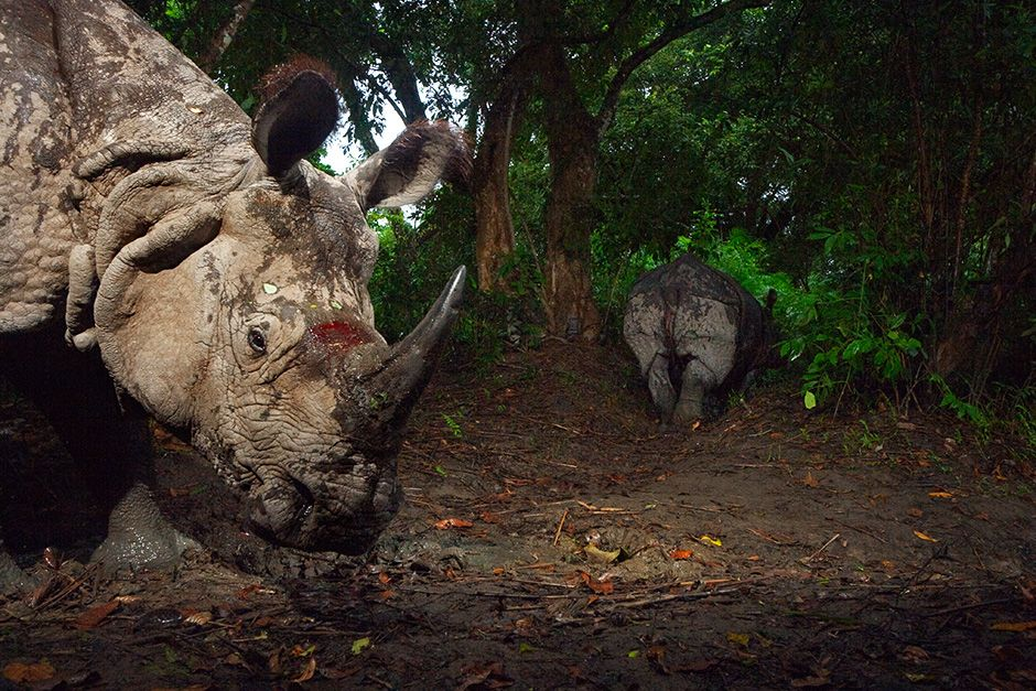 Kaziranga National Park, India: A camera trap captures a bloodied Indian one-horned rhino. This... [Photo of the day - October 2013]