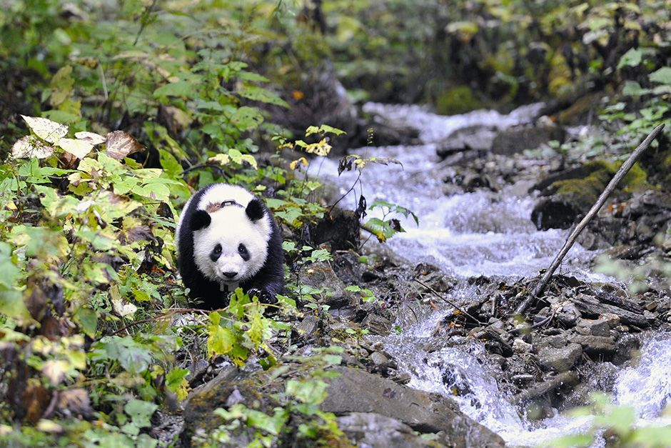 Deng Sheng Valley, Wolong nature reserve, Sichuan Province, China: One year old Xiao Xi Xi at... [Photo of the day - October 2013]