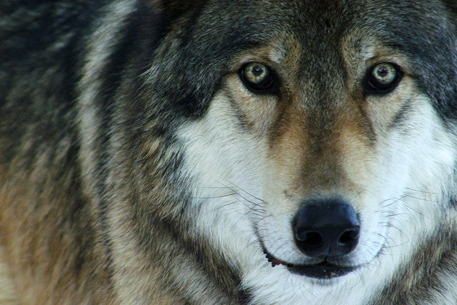 Wild Spirit Wolf Sanctuary, New Mexico, USA: The uniquely penetrating stare of a hybrid... [Photo of the day - October 2013]