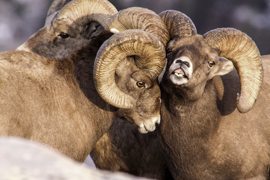 Dubois, Wyoming, USA: A bachelor group of bighorn rams begin pre-rut behavior. This image is... [Photo of the day - October 2013]