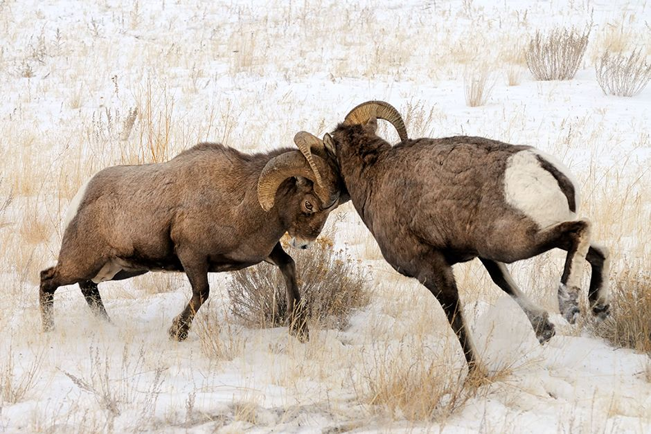 USA: Two rams are captured head-butting. This image is from Animal Fight Club. [Photo of the day - November 2013]
