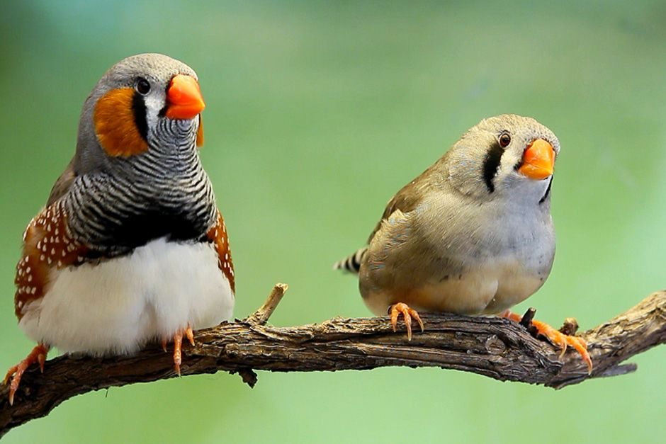 Zebra Finches sitting on a branch. This image is from World's Weirdest Taboos. [Photo of the day - November 2013]