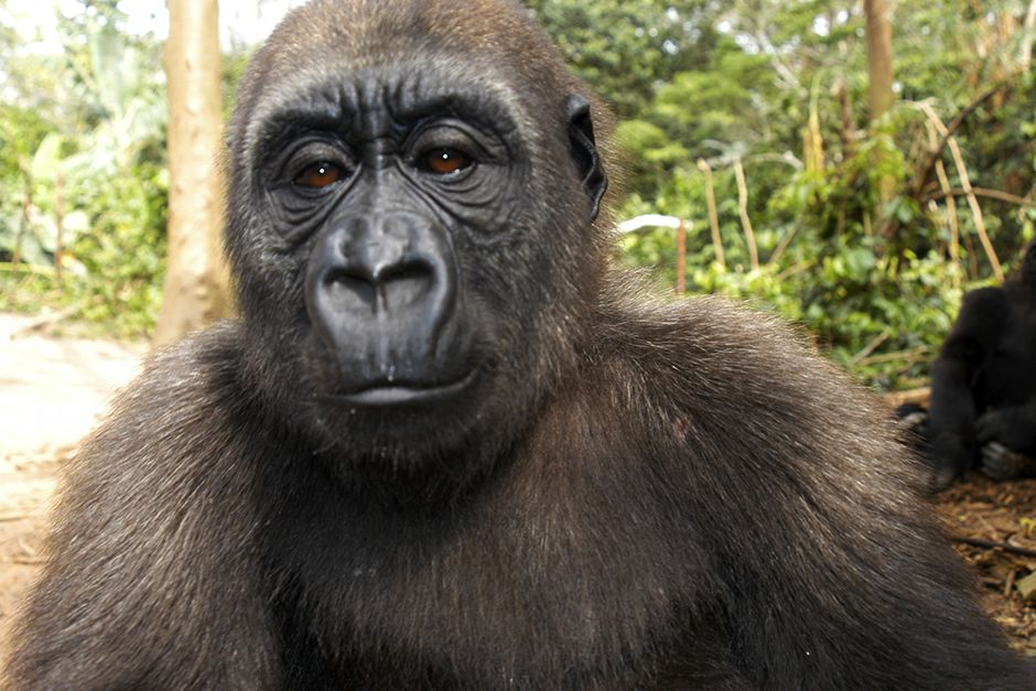 Bwindi Impenetrable National Park, Uganda:  Close up of a gorilla. This image is from Caught In... [Photo of the day - December 2013]