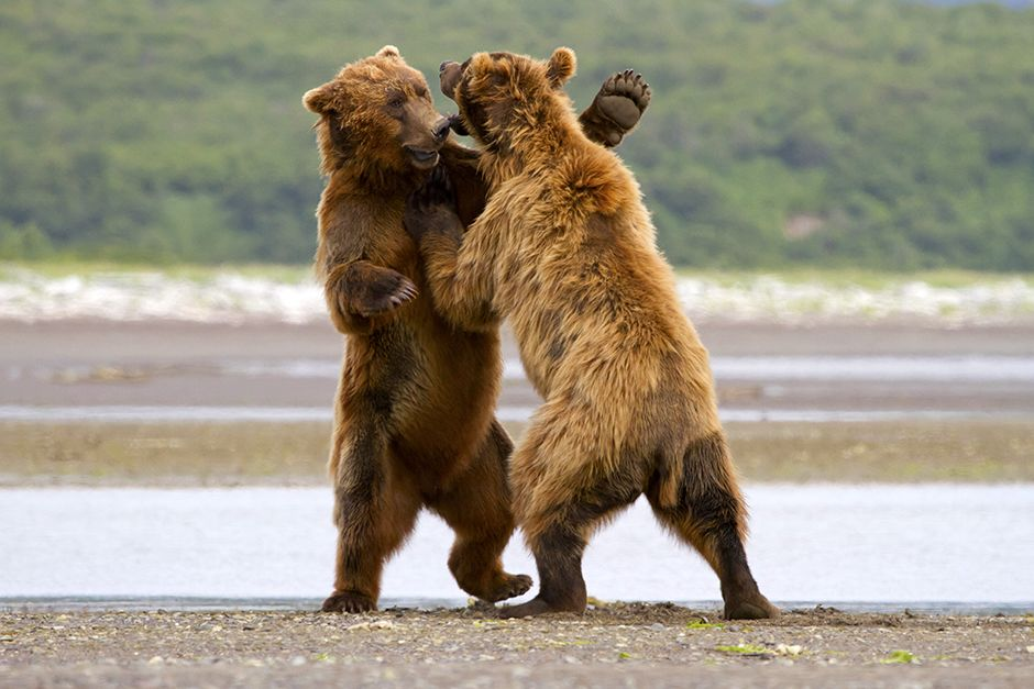 Peninsula Borough County, Alaska, USA: Two grizzlies are fighting.  This image is from Animal... [Photo of the day - دسامبر 2013]